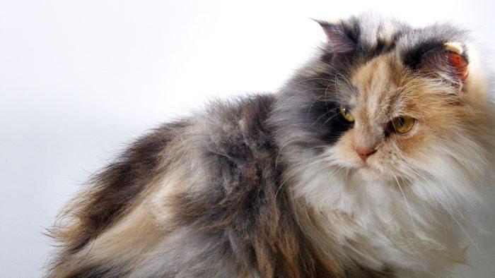 Gato angora tricolor
