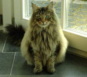 Gato del bosque de Noruega