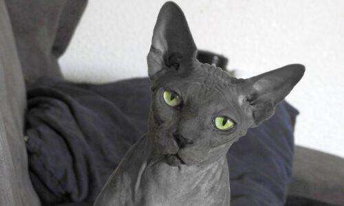 Gato egipcio negro