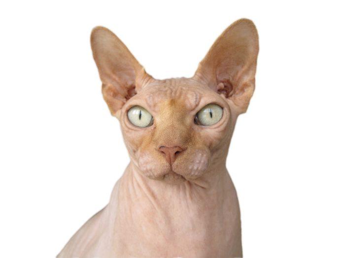 Gato egipcio, esfinge o sphynx
