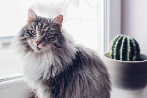Cuidados del pelo largo de los gatos