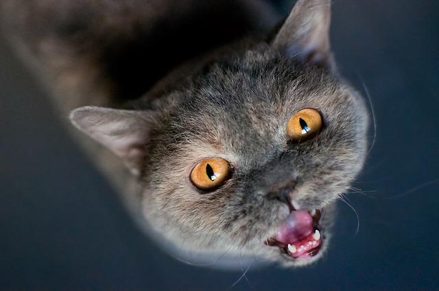 Gato gris maulla