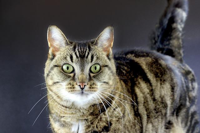 Gato atigrado marmoleado