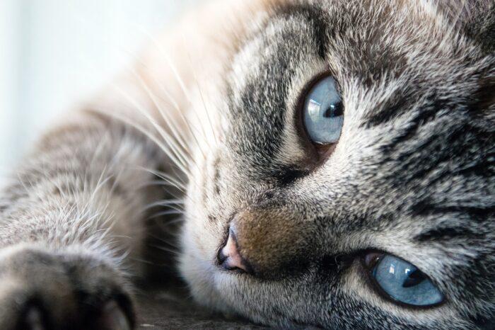 las mejores razas de gatos